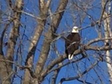 Eagle crop2